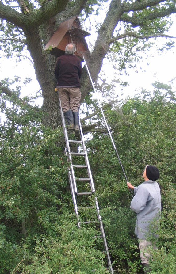 Dr Barrie Watson goes to the box very quietly and puts a net over the entrance to catch any adult bird which flies out.  This can be ringed or an existing ring number recorded, and after any young have been ringed and measured Dr Watson puts the adult back last, block the hole for a few minutes, then removes the stopper and creeps away. The adult will stay in the box.