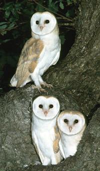 barn-owl-group