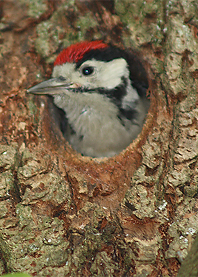 spotted_woodpecker_chick_twineham